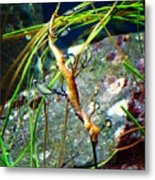 Leafy Sea Dragon  Metal Print