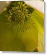 Lenten Rose Interior Metal Print