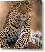 Leopard Panthera Pardus, Masai Mara Metal Print by Anup Shah