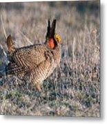 Lesser Prairie Chicken Displaying Metal Print