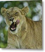 Licking Lion Metal Print