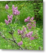 Lilac In The Spring Meadow Metal Print