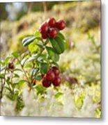 Lingonberries 1 Metal Print