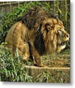 Lion Calling Females Metal Print