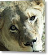 Lioness Up Close Metal Print