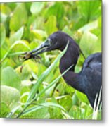 Little Blue Heron Catches A Frog Metal Print