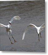 Little Egrets In Flight Metal Print