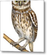 Little Owl Or Minerva's Owl Athene Noctua - Goddess Of Wisdom- Chouette Cheveche- Nationalpark Eifel Metal Print