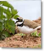 Little Ringed Plover Metal Print