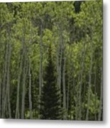 Lone Evergreen Amongst Aspen Trees Metal Print