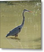Looking For Lunch  Two Metal Print