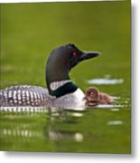 Loon And Chick Metal Print