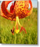 Lovely Orange Spotted Tiger Lily Metal Print