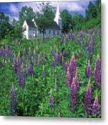Lupines And Church Sugar Hill Metal Print