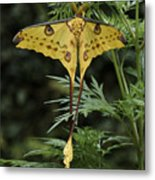 Madagascar Comet Moth Metal Print
