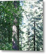 Majesic Redwoods Metal Print