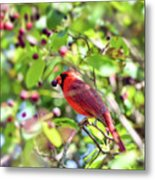 Male Cardinal And His Berry Metal Print
