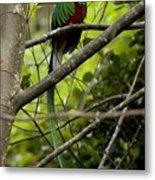 Male Resplendent Quetzal Metal Print