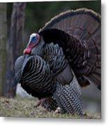 Male Wild Turkey, Meleagris Gallopavo Metal Print