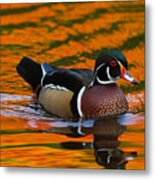 Male Wood Duck, Aix Sponsa, Swimming Metal Print by Darlyne A. Murawski