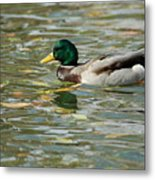 Mallard Among The Fallen Leaves Metal Print