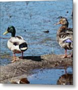 Mallard Pair-chincoteague National Wildlife Refuge Metal Print
