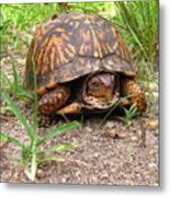 Maryland Box Turtle Metal Print