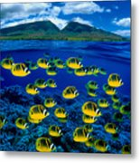 Maui Butterflyfish Metal Print by Dave Fleetham - Printscapes