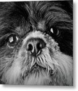 Max - A Shih Tzu Portrait Metal Print