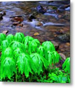 Mayapples And Middle Fork  Metal Print