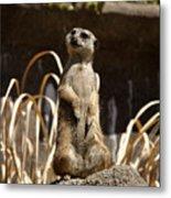Meerkat Poser Metal Print