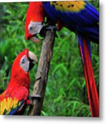 Meeting Of The Macaws  Metal Print