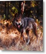 Mexican Red Wolf Metal Print