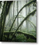 Misty Vine Maples Metal Print