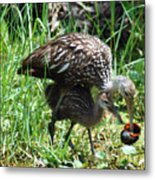 Mom And Baby Limpkin Metal Print