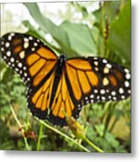 Monarch Butterfly II Metal Print
