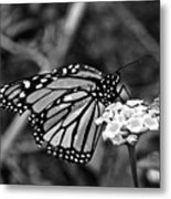 Monarch Butterfly. Metal Print
