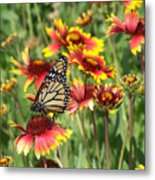 Monarch On Blanketflower Metal Print