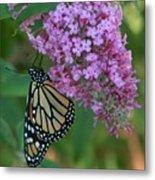Monarch On Butterfly Bush Metal Print