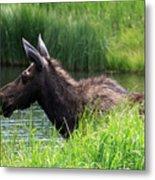 Moose In The Pond - 1 Metal Print