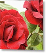 Morning Roses Metal Print