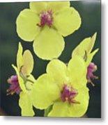 Moth Mullein Wildflowers - Verbascum Blattaria Metal Print