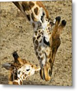 Mother Giraffe With Her Baby Metal Print by Garry Gay