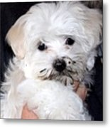 Muddy Maltese Metal Print