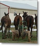 Mules At Rest Metal Print