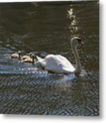 Mute Swan With Three Cygnets Following Metal Print