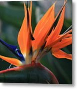 My Bird Of Paradise Metal Print by Valia Bradshaw