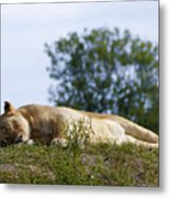 Nappy Time Metal Print