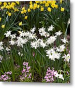 Narcissus And Daffodils In A Spring Flowerbed Metal Print