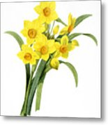 Narcissus (n. Tazetta) Metal Print